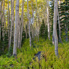 1163 - Aspen forest in fall.  Wastach Mountains, Utah.