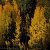 1056 - Aspen fall.  Wasatch Mountains, Utah.