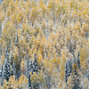 1080 - Early snowfall dusted the fall Aspen trees in the Wastach Mountains, Utah for a rare scene.