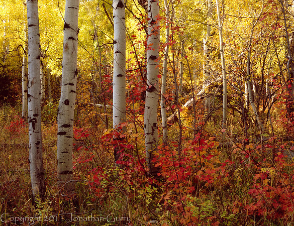 1052 - Aspen in fall.  Wasatch Mountains, Utah.