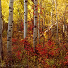 1052 - Aspen in fall.  Wasatch Mountains, Utah.