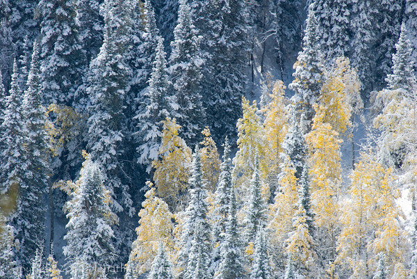 1078 - Early snowfall dusted the fall Aspen trees in the Wastach Mountains, Utah for a rare scene.