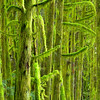1115 - Mossy forest in the North Cascades National Park, Washington.
