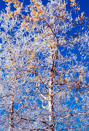 1040 - Frosted Aspen, Wasatch Mountains, Utah.