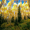 1039 - Aspen forest in fall.  Wasatch Mountains, Utah.