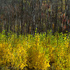 1165 -  Aspens in fall.  Wasatch Mountains, Utah.