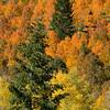 1169 - Fall Aspens.  Wasatch Mountains, Utah.