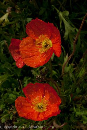 1272 - Poppies.