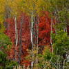 1066 - Fall trees. Wastch Mountains, Utah.