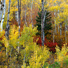 1010 - Aspens and low ground Maple in Fall. Wasatch Mountains, Utah
