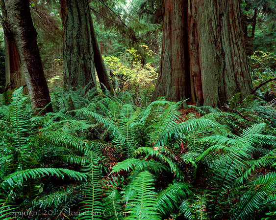 1032 - Old growth forest.  Whidney Island State Park, Washington.