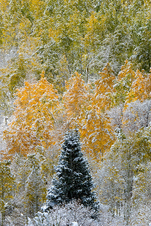 1081 - Early snowfall dusted the fall Aspen trees in the Wastach Mountains, Utah for a rare scene.