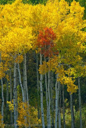 1170 - Lone red Aspen tree.  Wasatch Mountains, Utah.