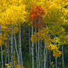 1170 - Lone red Aspen tree.  Wasatch Mountains, Utah.