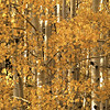 1047 - Aspens in fall.  Wasatch Mountains, Utah.