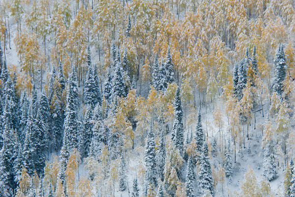 1077 - Early snowfall dusted the fall Aspen trees in the Wastach Mountains, Utah for a rare scene.