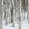 1134 - Winter Aspens.  Utah.