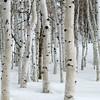 1134 - Winter Aspens.  Utah.