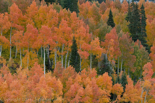 1164 - Aspens in fall.  Wasatch Mountains, Utah.
