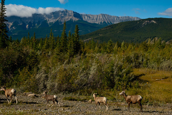 1279 - Mountain Goats, Jasper National Park, Canada.