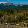 1279 - Mountain Goats, Jasper National Park, Canada.