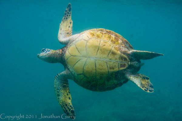 1351 - Sea Turtle, Sharks Cove, Waimea Bay, Oahu.