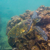 1346 - Sea Turtle, Sharks Cove, Waimea Bay, Oahu.