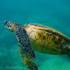 1348 - Sea Turtle, Sharks Cove, Waimea Bay, Oahu.