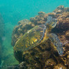 1347 - Sea Turtle, Sharks Cove, Waimea Bay, Oahu.