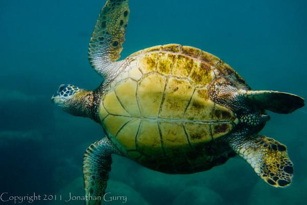 1350 - Sea Turtle, Sharks Cove, Waimea Bay, Oahu.