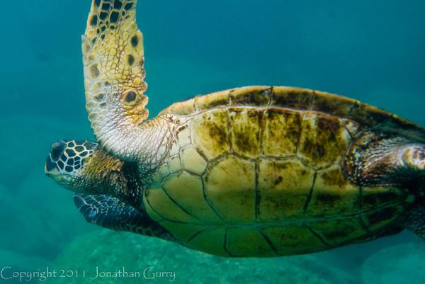 1349 - Sea Turtle, Sharks Cove, Waimea Bay, Oahu.