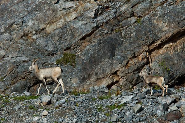 1285 - Mountain Goat, Jasper National Park, Canada.