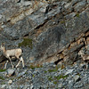 1285 - Mountain Goat, Jasper National Park, Canada.