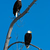1121 - Male and Female eagle.  Wasatch, Utah.
