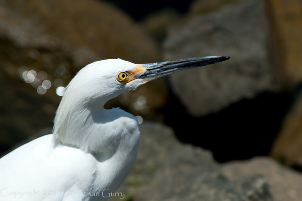 1246 - Great Egret.  Cabo San Lucas, Mexico.