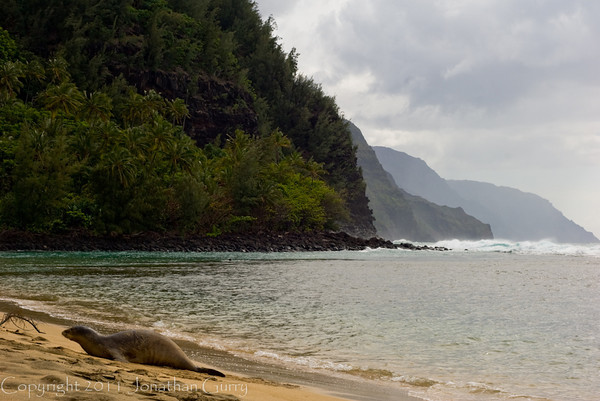 1240 - Monk Seal on Ke'e Beach, Napali Coast Kauai, Hawaii.