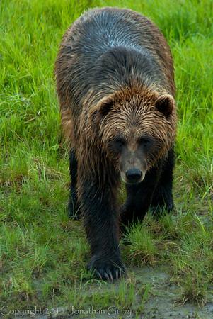 1316 - Brown Bear, South Central Alaska.