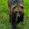 1316 - Brown Bear, South Central Alaska.
