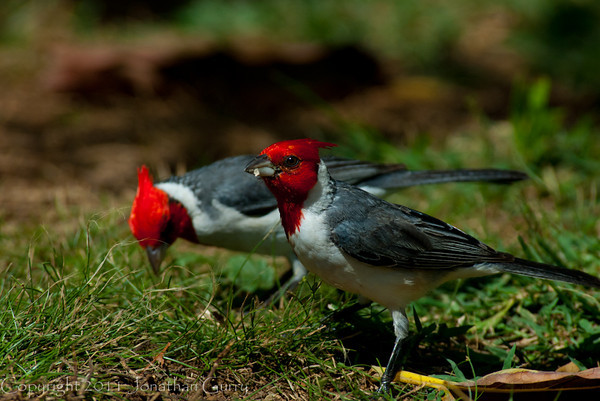 1331 - Cardinal, Honululu, Hawaii.