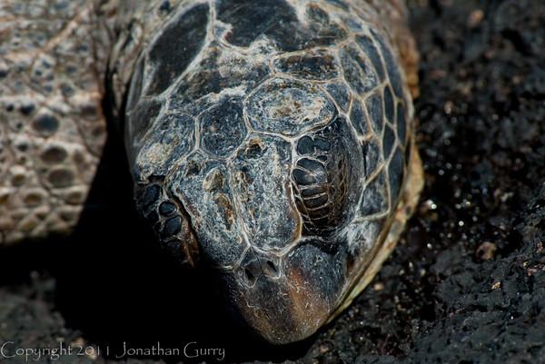 1126 - Sea Turtle.  Kona Coast, Hawaii.