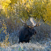 1070 - Bull Moose, Grand Teton National Park, Wyoming.