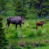 1330 - Cow moose and calf. Chugach Mountains, Alaska.