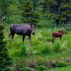 1330 - Cow moose and calf. Chugach Mountains, Alaska.