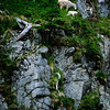 1024 - Dall Sheep and baby or Ewe. Kenai Fjords National Park, Alaska.