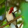 1244 - Cardinal.  Kauai, Hawaii.