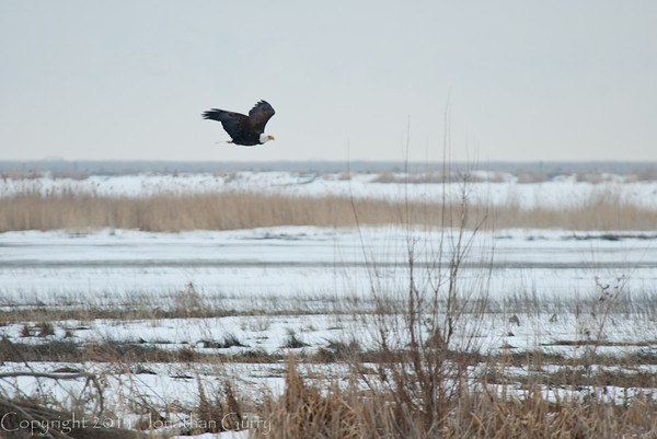 1106 - Eagles wintering on the Great Salt Lake, Utah.