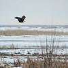 1106 - Eagles wintering on the Great Salt Lake, Utah.