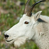 1157 - Mountain goat.  Mt. Timpanogos, Wasatch Mountains, Utah.
