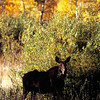 1026 - Moose at sunrise in fall.  Wasatch Mountians, Utah.