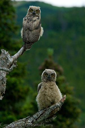 1329 - Owls, Chugach Mountains, Alaska.
